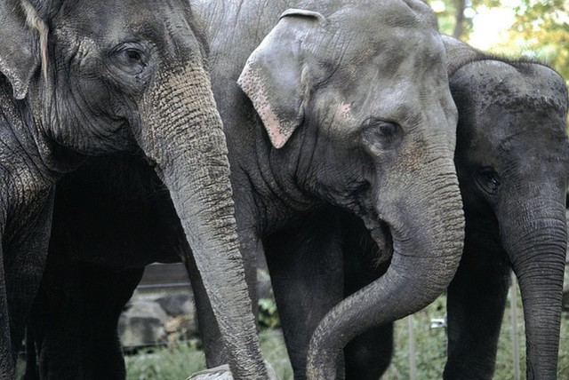A $2 million gift from businessman David Rubenstein allow the Smithsonian's National Zoo to add this 3 Asian elephant herd Courtesy of Bill Quayle,    Calgary Zoo