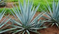 PLANT, AGAVA, GREEN