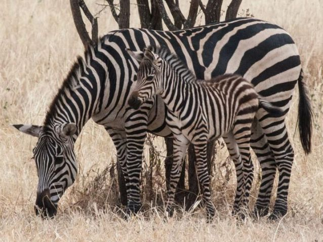 Zebra stripes not for camouflage, new study finds - Jewish ...